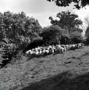 Shepherding, Hutton-le-Hole